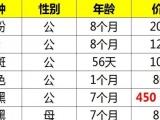 出售各种龙猫其中浅黑DD特价450元,限江浙沪!