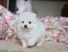 天津纯种博美犬价格,天津哪里能买到纯种博美犬