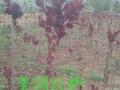 出售绿化彩叶新树种。(一):美国红栌树,高1.5-3米,抗冻