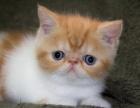 自家繁殖精品梵文三花加菲猫活泼健康,寻爸爸妈妈啦