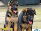 中山狗场出售纯种健康德国牧羊犬 可视频送货上门
