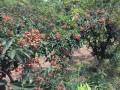 陕西哪有无刺花椒 种苗基地-韩城市狮子头 大红袍结椒早多