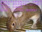 比利时肉兔养殖加盟比利时肉兔养殖场比利时肉兔苗出售