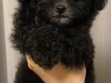 出售纯种家养泰迪幼犬 免费领养泰迪幼犬 包纯种健康