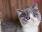 家养纯种蓝白猫活体 正八字五粉包健康可签订协议