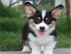 柯基犬 专业繁殖 包品质 欢迎实地挑选