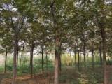 供应米径3-20公分美国山核桃树