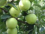 供应辽伏大量供应山东早熟辽伏藤木苹果