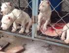 出售2-3-4个月杜高犬,卡斯罗犬,马犬,德国牧羊犬