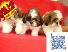 上海哪里有卖西施 西施犬好养吗