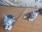 自家小美短虎斑猫,2公1母,600元一只