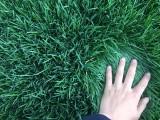 赤峰岛草坪 种植草坪 草坪价格 哪有草坪 一手草坪