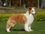武汉长期出售边境牧羊犬