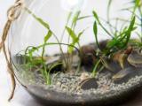 淡水活体薄壳/鱼缸生物过滤/除藻工具