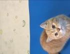 纯种英国短毛猫可爱活泼,有缘人电详聊