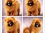 犬舍直销松狮幼犬出售 呆萌呆萌的非常可爱 可上门挑选