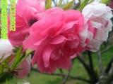 观赏桃花树苗红花碧桃小树