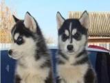 出售家养哈士奇幼犬纯种蓝眼三把火雪橇犬包养活签协议