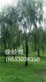 想要无病虫害的山东垂柳就来菏泽市景鸿苗木基地