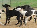 出售格力犬 惠比特犬 猎兔犬 全国包发货
