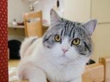 2个月美短加白小男猫求领养