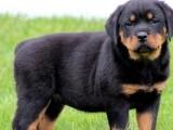 佛山在哪里有卖罗威纳犬 佛山纯种罗威纳幼犬一只价格多少