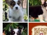 苏州哪里有卖纯种柯基的深圳柯基多少钱苏州哪有宠物店