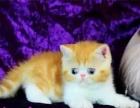 超可爱加菲猫幼猫出售签署协议可见父母