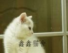 猫舍出售纯血统短毛猫 无病无癣家庭式繁育可上门挑选