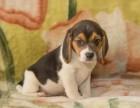 大连出售纯种比格犬米格鲁猎兔幼犬活体巴吉度狗短