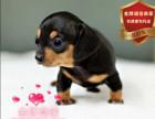 精品繁殖腊肠幼犬 帅气温顺包健康包纯种可自提