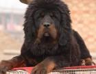 绍兴哪有藏獒犬卖 绍兴藏獒犬价格 绍兴藏獒犬多少钱