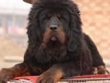 北京哪有藏獒犬卖 北京藏獒犬多少钱 北京藏獒犬图片