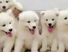 傻萌调皮 纯种萨摩耶犬 品相完美 疫苗齐健康放心之选