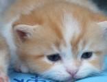 杭州南京苏州宁波加菲金吉拉豹蓝暹罗无毛猫哪里有卖 双飞猫