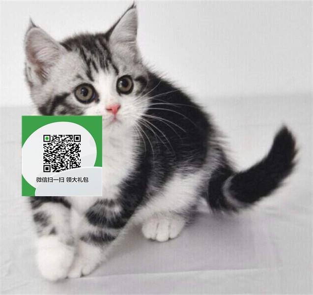 楚雄在哪里卖健康纯种宠物猫 楚雄哪里出售虎斑猫