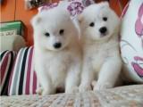 重庆出售 纯种萨摩耶幼犬 疫苗齐全出售中 可签协议健康保障