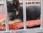 哪里有卖纯种双血统德国牧羊犬黑背纯种的长什么样子