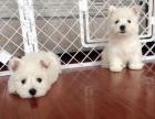 重庆哪里卖西高地犬幼犬重庆西高地多少钱一只小型西高地图片