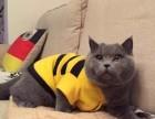 正规CFA猫舍纯种蓝猫育苗齐全 包活签协议送货上门