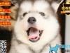 专业繁殖精品巴哥犬
