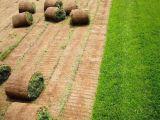涿州潤成豐鮮花綠植苗木基地供應綠化草坪高羊茅早熟禾混播草坪
