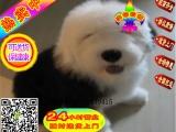 实物拍摄英国古牧幼犬出售 双血统白头黑背