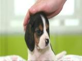 精品 比格犬保证 纯种健康 CKU国际认证犬舍