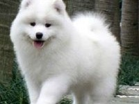 佛山哪里有萨摩耶幼犬 顺德哪里有卖萨摩耶幼犬