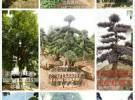 浏阳红继木造型榆树供应