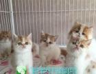 宠物幼猫活体纯种布偶猫幼猫布偶猫双色活体宠物猫