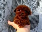 女神节限时折扣 纯种家养泰迪幼犬 宠物泰迪带质保