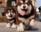 重庆巨熊熊版阿拉斯加犬 黑色红色灰色 质高价优
