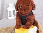 纯种韩系泰迪熊 茶杯 玩具 可爱至极